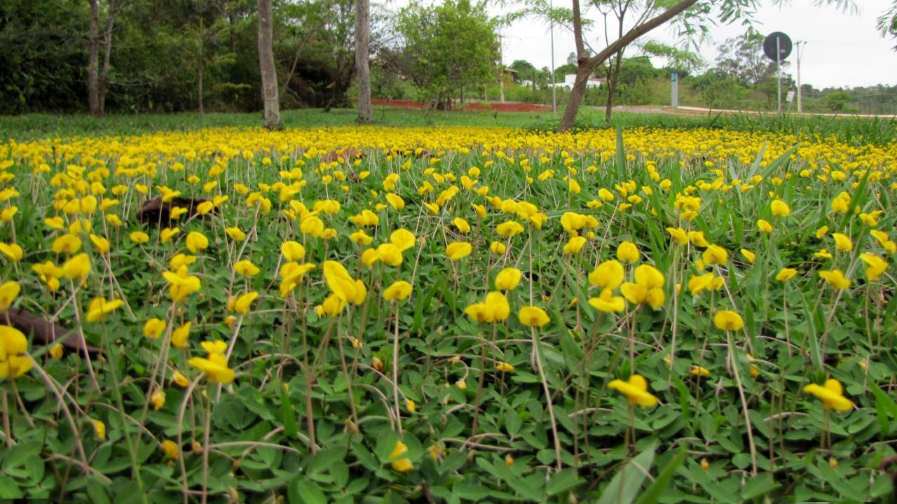 Image of <i>Arachis repens</i> Handro