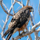 Image of Galapagos Hawk