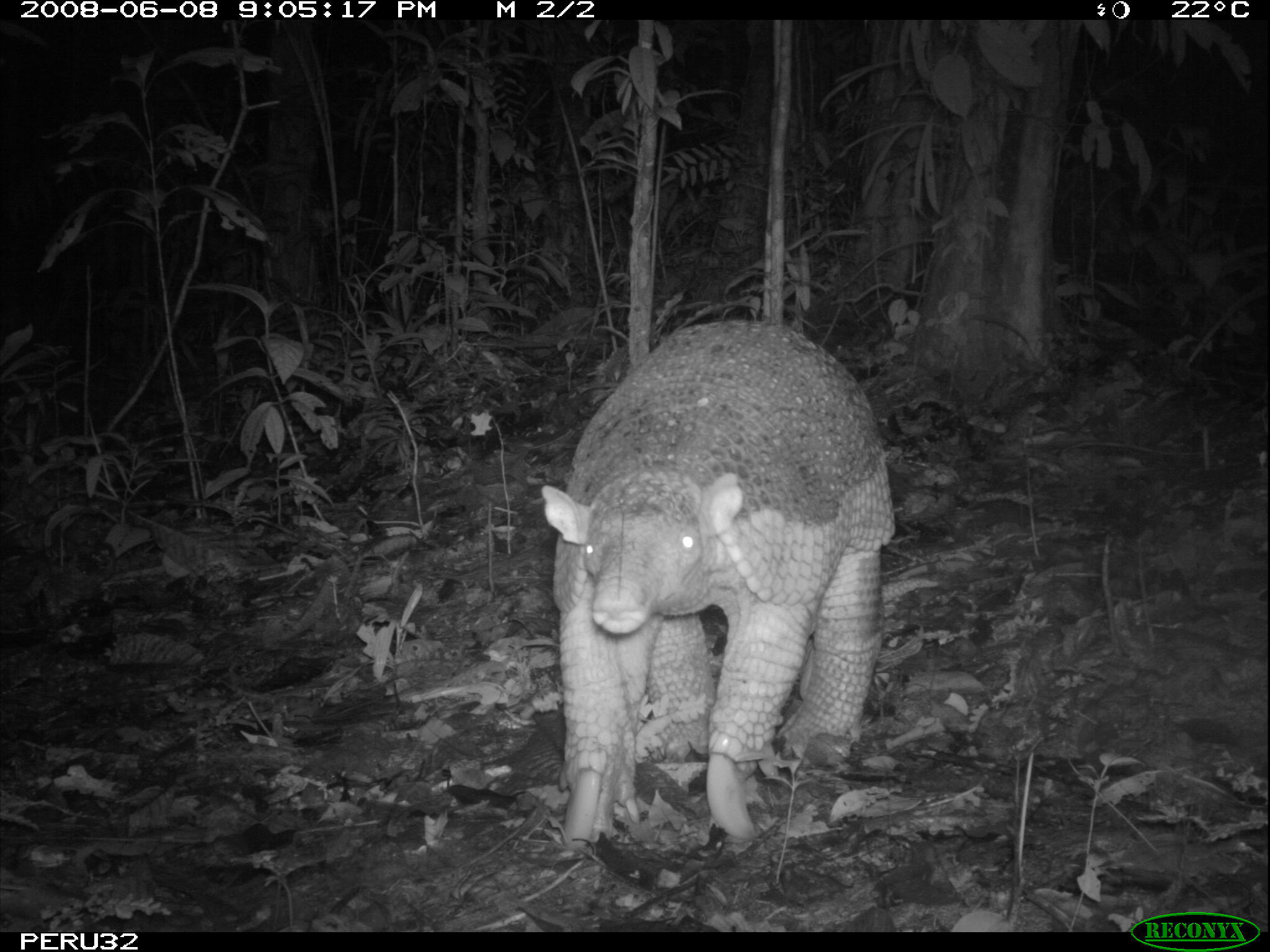 Image of Giant Armadillo
