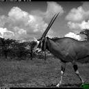 Image of Beisa Oryx