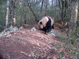 Image of Giant Panda