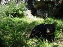 Image of Asian Black Bear