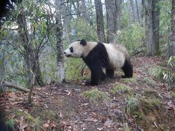 Image of Giant Panda