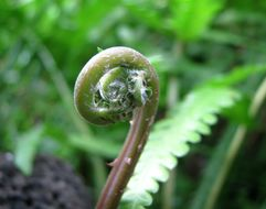 Image of Hottentot Fern
