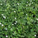 Image of oval-leaf clustervine