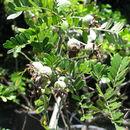 Image of Hawai'i hawthorn