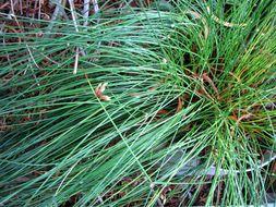 Image of <i>Schoenoplectiella juncoides</i> (Roxb.) Lye
