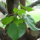 Image of Portia tree