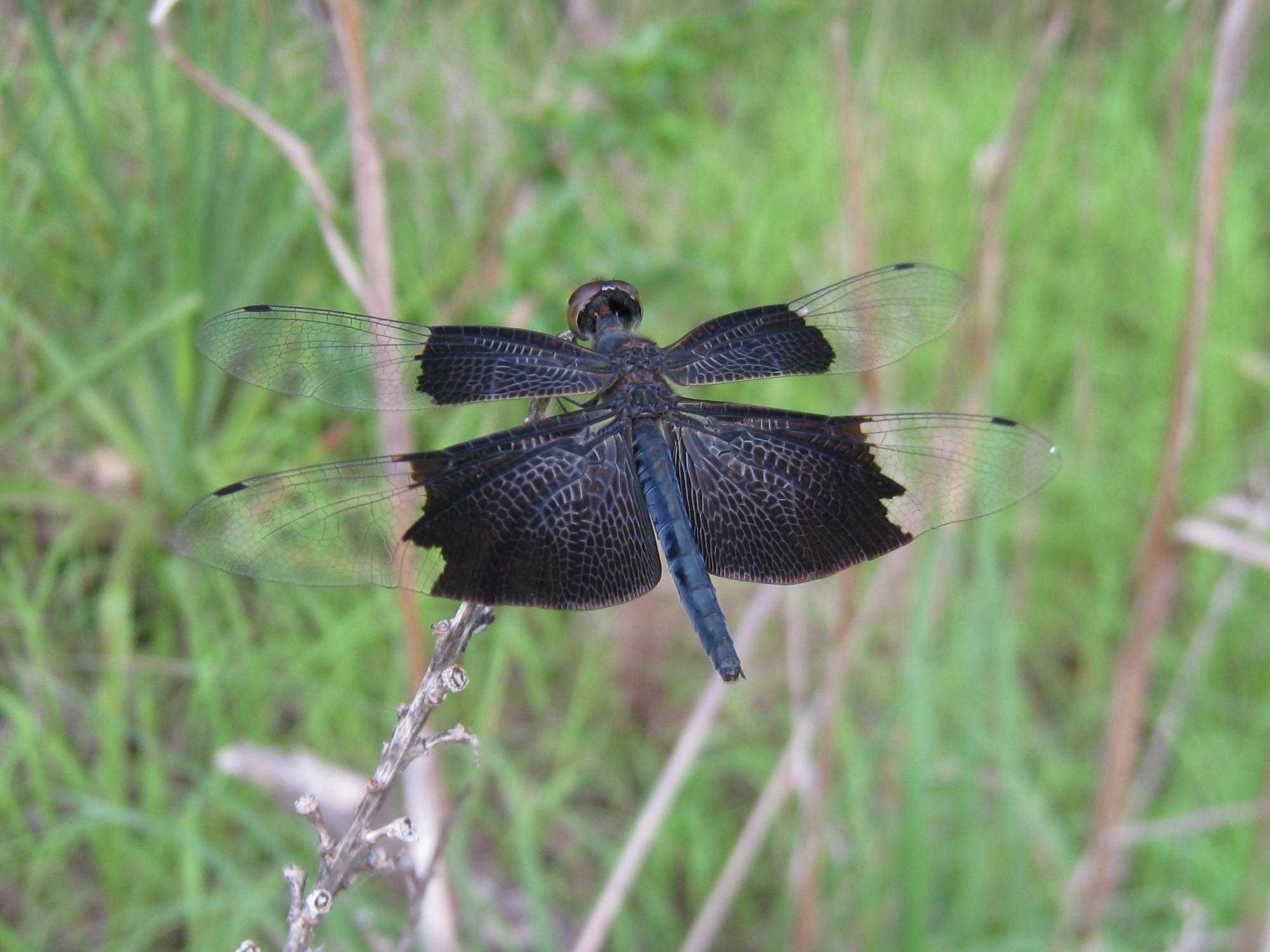 Image of Iridescent Flutterer