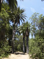 Image of Chile cocopalm