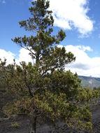 Image of Chilean cedar