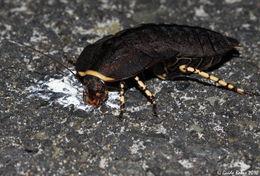 Image of native cockroach ( Australia )