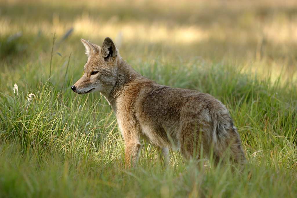 Image of Coyote
