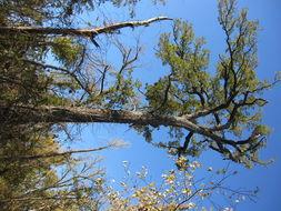 Image of Bur Oak