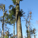 Image of overcup oak