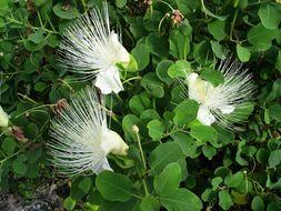 Image of <i>Capparis spinosa mariana</i>