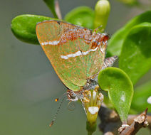 Image of Silver-Banded Hairstreak