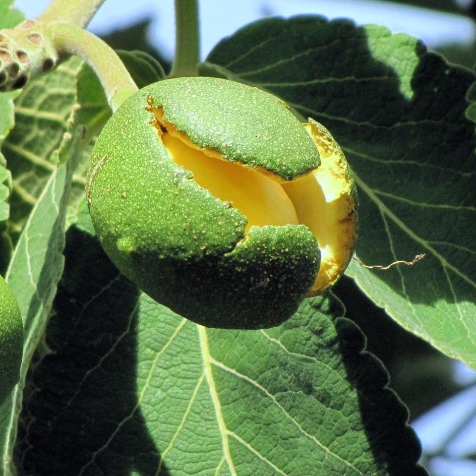 Image of pequi