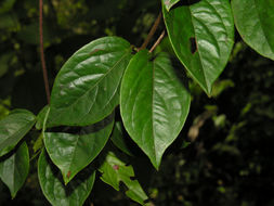 Image of <i>Heteropterys panamensis</i> J. Cuatrec. & T. B. Croat