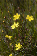 Image of <i>Hibbertia acicularis</i>