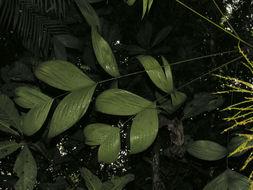 Image of <i>Geonoma scoparia</i> Grayum & Nevers