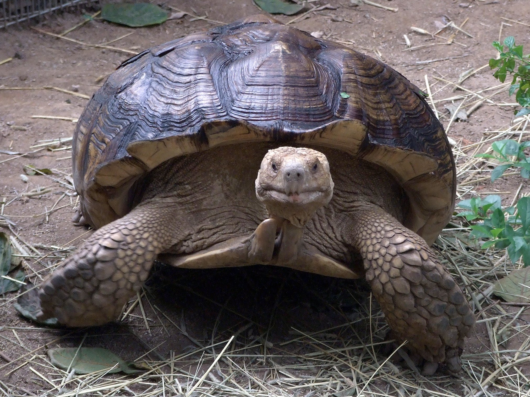 Image of African Spurred Tortoise