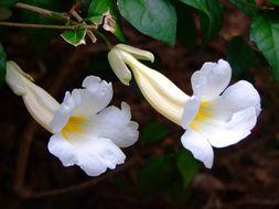 Image of <i>Thunbergia erecta cv</i>