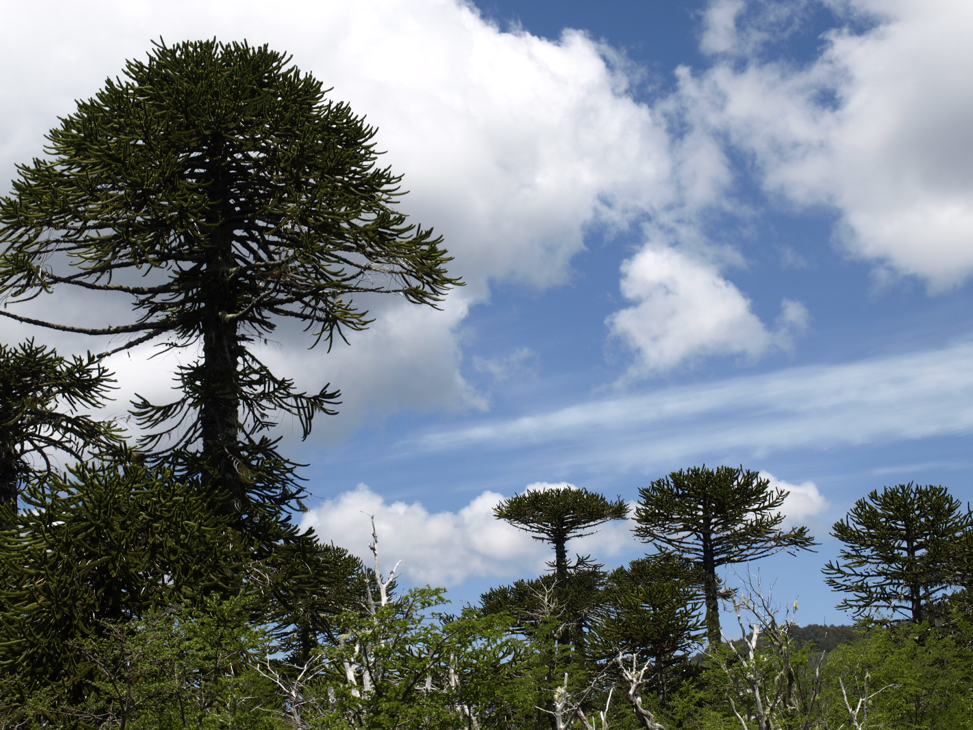 Image of Monkey Puzzle