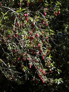Image of Chilean Lantern Tree