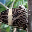 Image of Zebra Mosaic