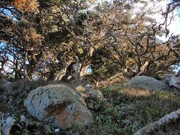 Image of Monterey cypress