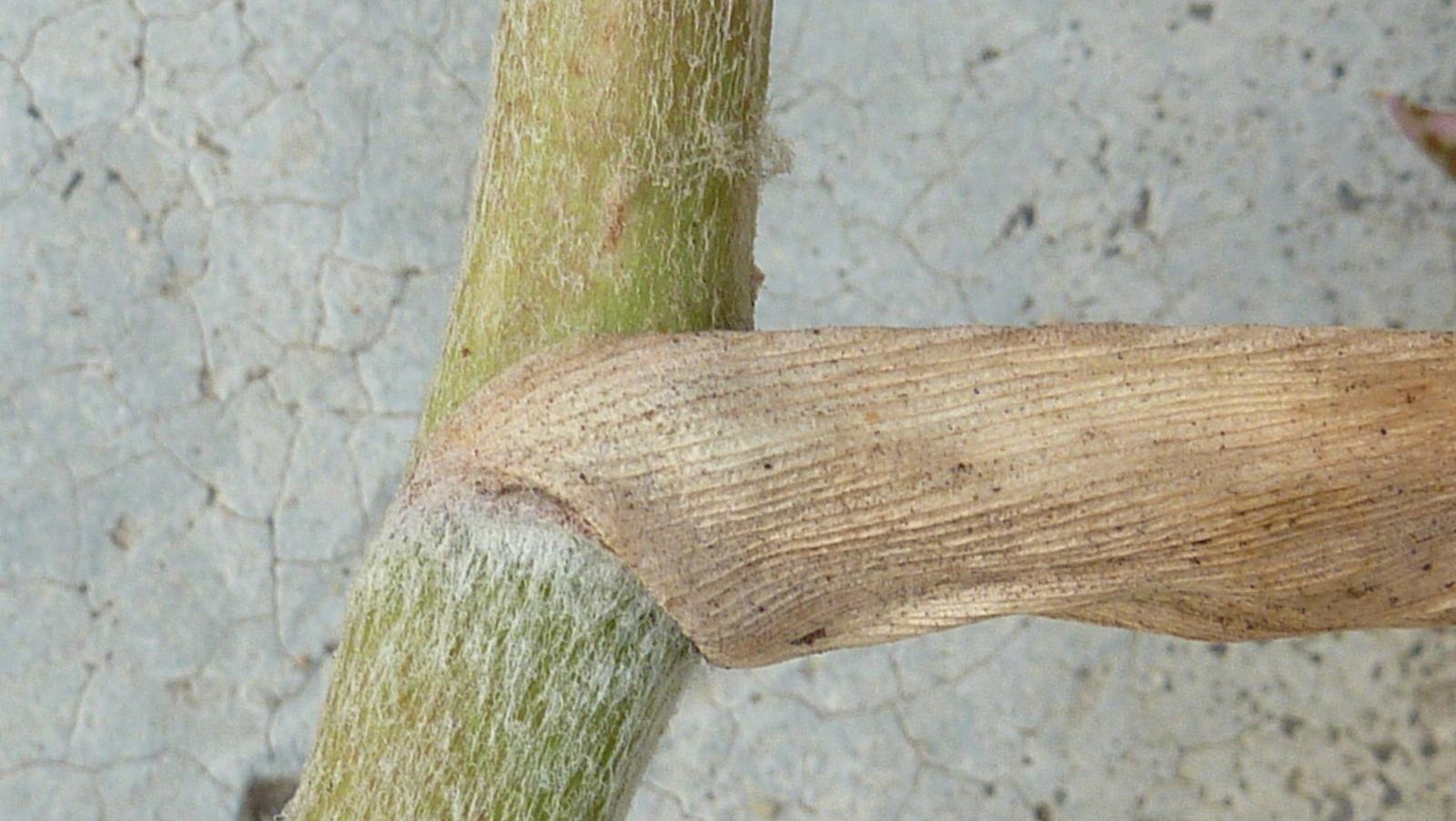 Image of <i>Hohenbergia stellata</i> Schult. & Schult. fil.