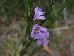 Image of <i>Hemigenia purpurea</i> R. Br.