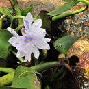 Image of common water hyacinth