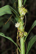 Image of giant goldenrod