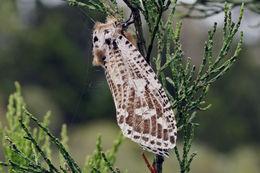 Image of <i>Endoxyla magniguttata</i>