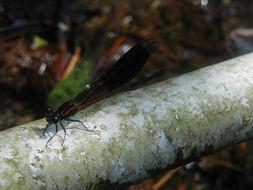 Image of <i>Euphaea formosa</i> Hagen ex Selys 1869