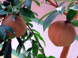 Image of Crapnell's Camellia