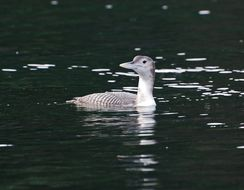 Image of Yellow-billed loon