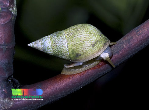 Image of Black-mouth mangrove periwinkle