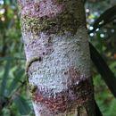 Image of <i>Psychotria carthagenensis</i> Jacq.