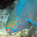 Image of Parrotfishes
