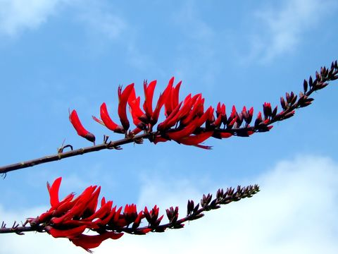 Image of coral erythrina