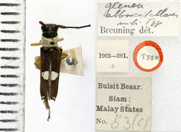 Image of <i>Glenea alboscutellaris</i> Breuning 1958