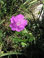 Image of bloody geranium