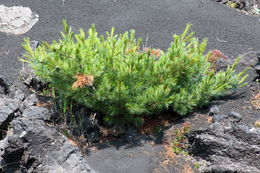 Image of dwarf Siberian pine