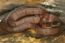 Image of Redback Coffee Snake