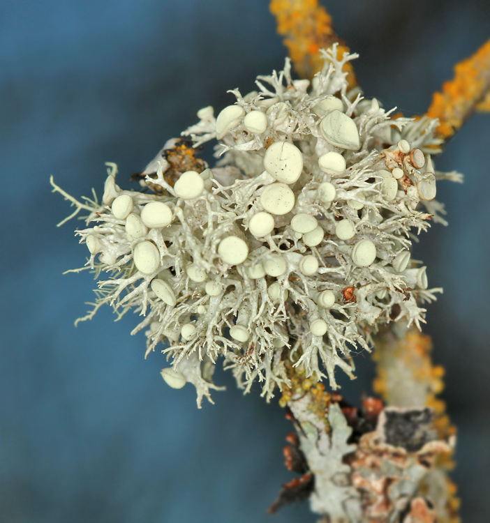 Image of cartilage lichen
