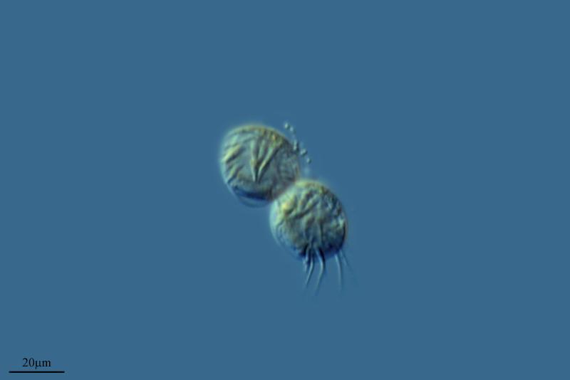 Image of <i>Aspidisca steini</i>