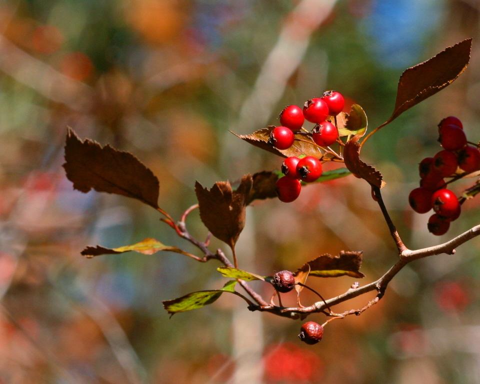 Image of green hawthorn